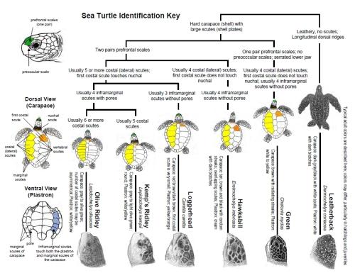 sea_turtle_identification